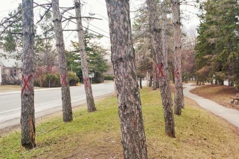 Marked trees along Byron Linear Park